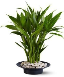 Wish someone the best of luck - send them a graceful Lucky Bamboo plant, planted in a simple zen container